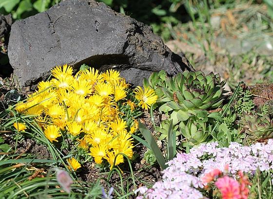 succulentes pour rocaille 10479909.47382398.560