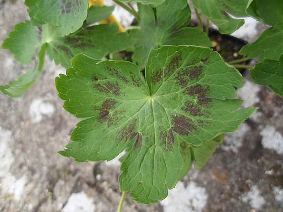 Geranium : espèces et variétés 10309994.bf11541d.560