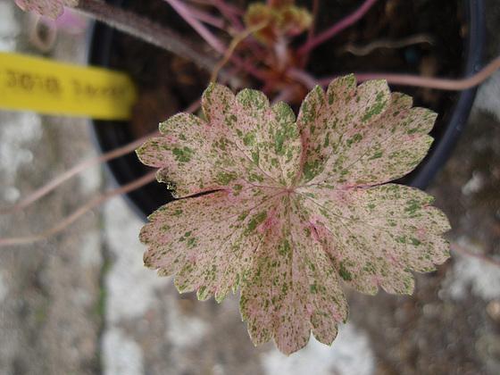 Geranium : espèces et variétés 10309996.8139855b.560