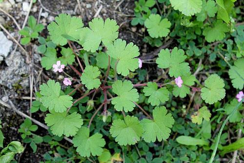 Geranium rotundifolium - géranium à feuilles rondes 10810194.72b1d68f.500