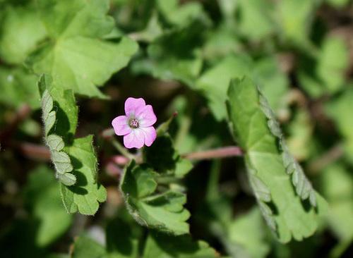 Geranium rotundifolium - géranium à feuilles rondes 10810196.deb2d061.500