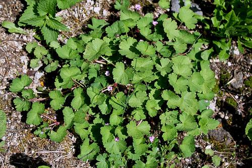 Geranium rotundifolium - géranium à feuilles rondes 10810197.dd0d7ffb.500