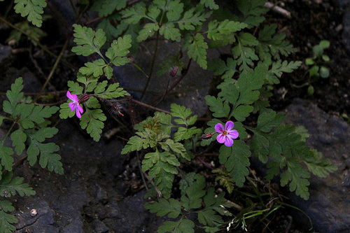 Geranium robertianum - herbe à Robert 10810198.c6798322.500