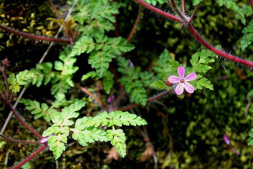 Geranium robertianum - herbe à Robert 10810200.bb5560a3.500