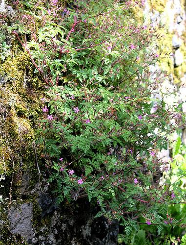 Geranium robertianum - herbe à Robert 10810202.0abc1c1e.500
