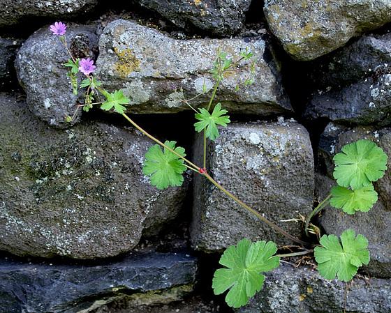 Geranium pyrenaicum - géranium des Pyrénées 10810204.ab36a355.560