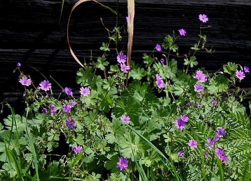 Geranium pyrenaicum - géranium des Pyrénées 10810206.6d84af07.500