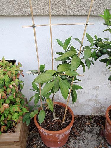 mandarine satsuma P8212865