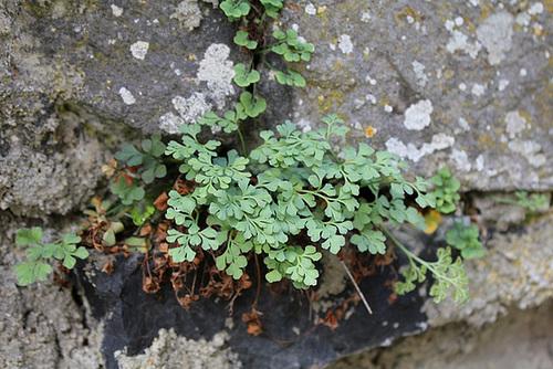 flore des vieux murs, rochers  et rocailles naturelles 10810414.ce6dc42e.500