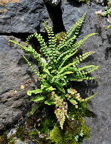 flore des vieux murs, rochers  et rocailles naturelles 10810415.b76d3940.500