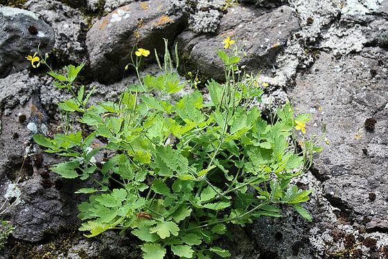 flore des vieux murs, rochers  et rocailles naturelles 10810416.3cfcf0ca.560