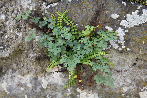 flore des vieux murs, rochers  et rocailles naturelles 10810419.47f300e3.500