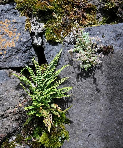 flore des vieux murs, rochers  et rocailles naturelles 10810428.48c7de2d.500