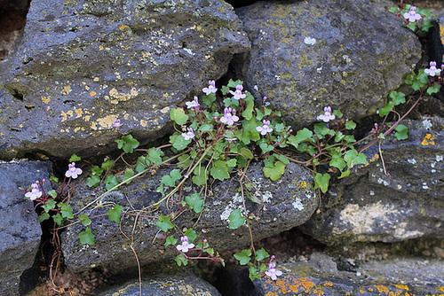 flore des vieux murs, rochers  et rocailles naturelles 10810430.0b4f73bc.500