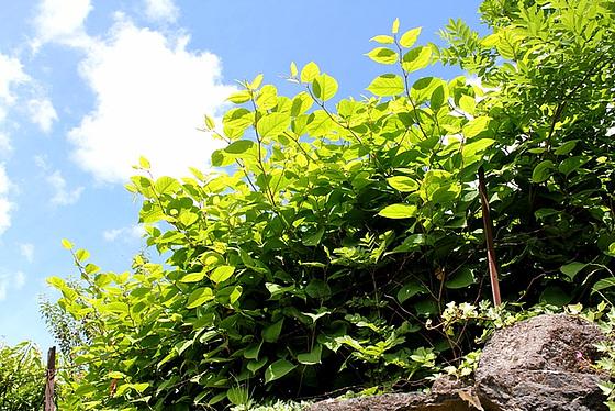 Reynoutria japonica (= Fallopia japonica) - renouée du Japon 10810465.ddea73b6.560