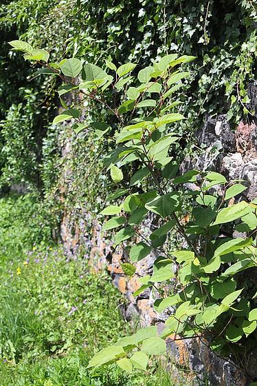 Reynoutria japonica (= Fallopia japonica) - renouée du Japon 10810466.aa7ed45c.560