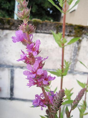 lythrum salicaria P6192120