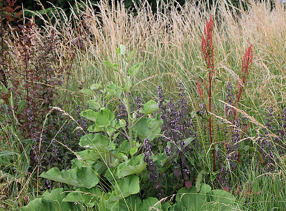 rudérales - plantes des décombres et friches enrichies en nitrate 10840665.e445bf9e.560