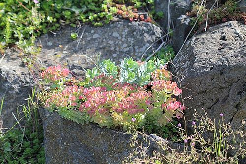 Petites vivaces tapissantes et coussinantes pour rocaille 10840749.c9d43d52.500