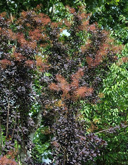 Cotinus coggygria 10840762.72efb510.560