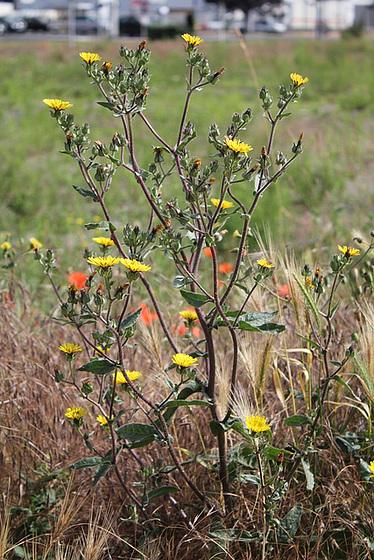 rudérales - plantes des décombres et friches enrichies en nitrate 10761264.9d8d83d1.560