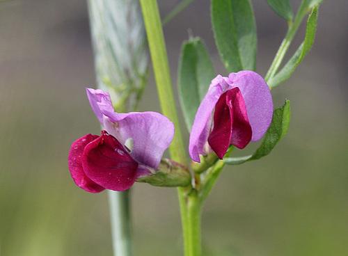 Vicia sativa- Vesce cultivée