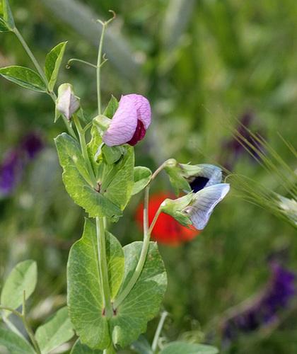 Pisum sativum - Le Pois des champs
