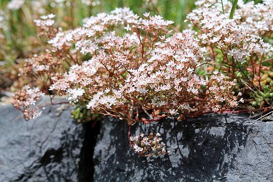 flore des vieux murs, rochers  et rocailles naturelles 10911340.37e7b4e5.560