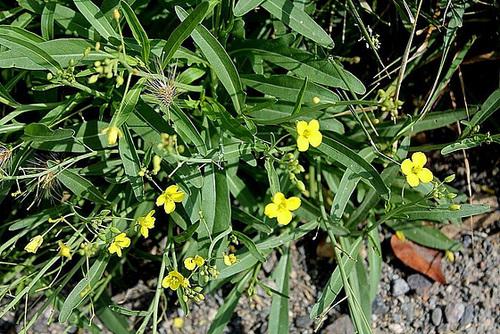 Diplotaxis tenuifolia - diplotaxis à feuilles étroites  10761342.e234b535.500