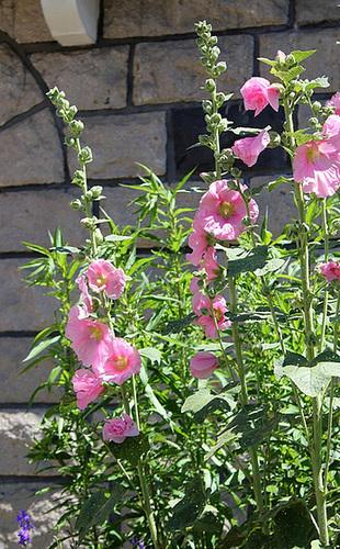 Alcea rosea - rose trémière 10991836.87c7ddea.500
