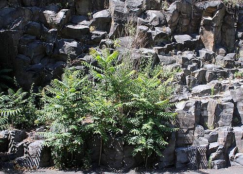 Ailanthus altissima - ailante 10992009.4cd7b823.500