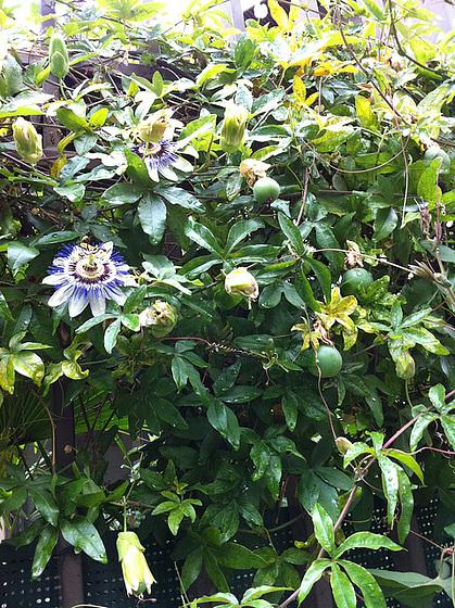 passiflores : nos floraisons [verrouillé] 10872313.fa88ea3b.560