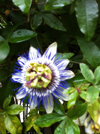 passiflores : nos floraisons [verrouillé] 10872314.8e6bd347.560