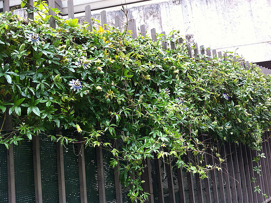 passiflores : nos floraisons [verrouillé] 10872317.83a26982.560