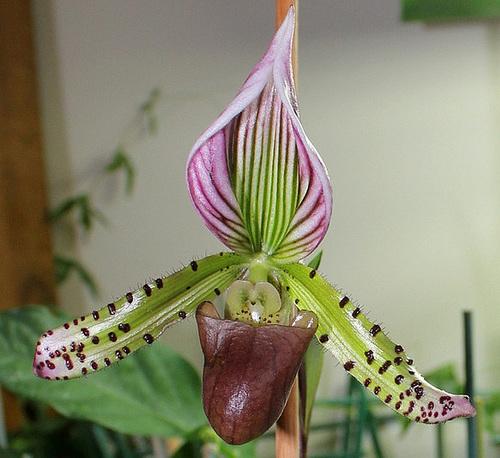 Paphiopedilum hybride x lawrenceanum