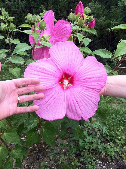 Hibiscus moscheutos 11213148.84ed611e.560