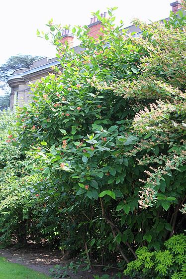 Calycanthus floridus - arbre aux anémones 10833856.35bc7606.560