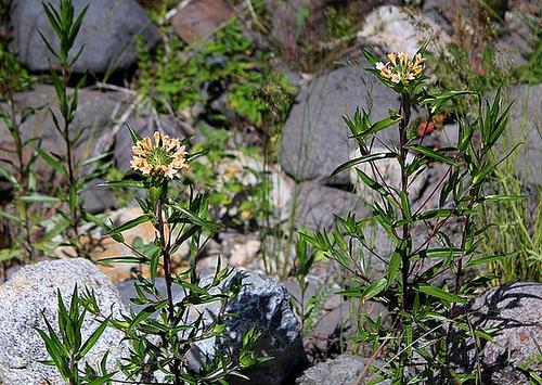 Collomia grandiflora (2)