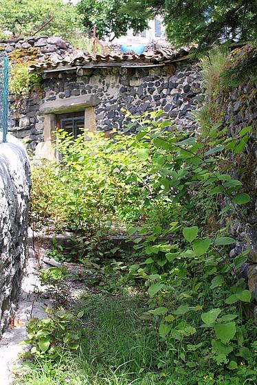 Reynoutria japonica (= Fallopia japonica) - renouée du Japon 10804645.cbbdac02.560