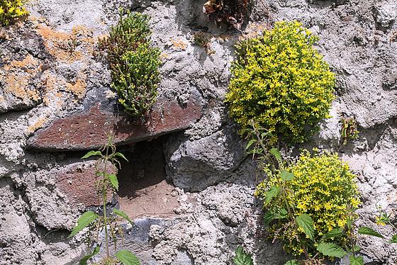 flore des vieux murs, rochers  et rocailles naturelles 10804648.89bc7849.560