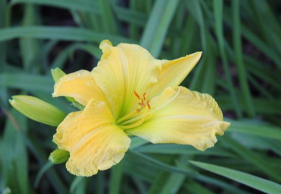 Hemerocallis - des variétés 10914995.ba9a4efb.560