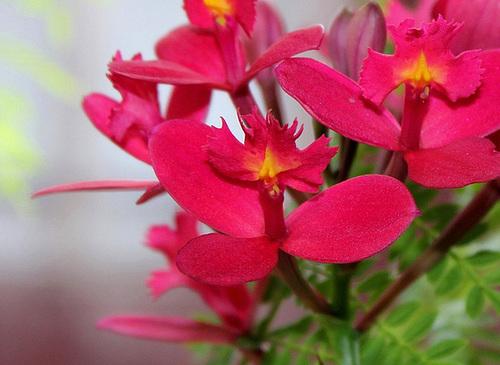 Epidendrum x ibaguense