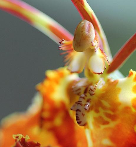 Psychopsis papilio - oncidium papillon 11115004.d95c5d2c.500