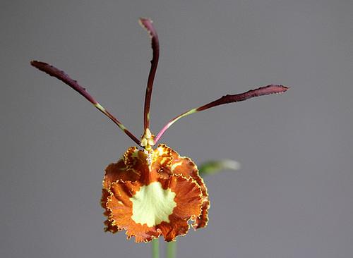 Psychopsis papilio - oncidium papillon 11115006.60fc663f.500
