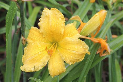 Hemerocallis - des variétés 11025281.ff6f334a.500