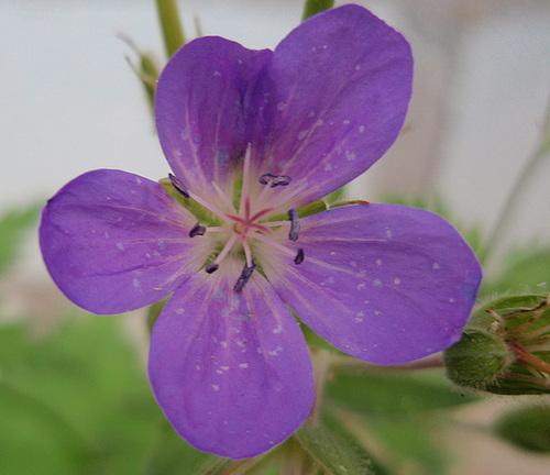 géranium sylvaticum 'mayflower' P7142448-2