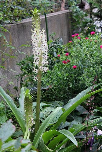 Eucomis bicolore