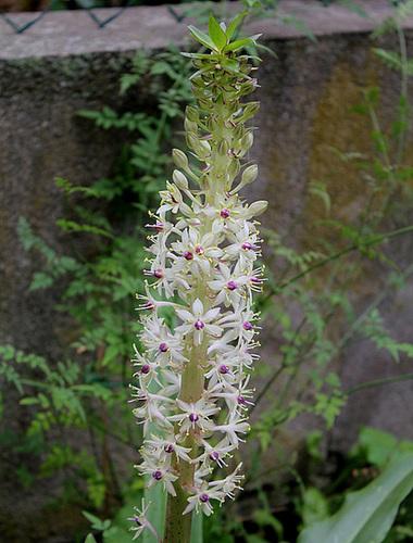 Eucomis bicolore (2)