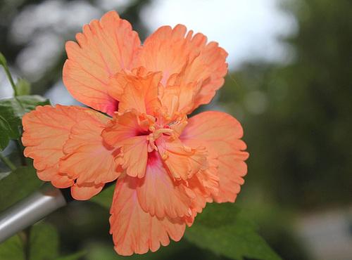 Hibiscus E.C.