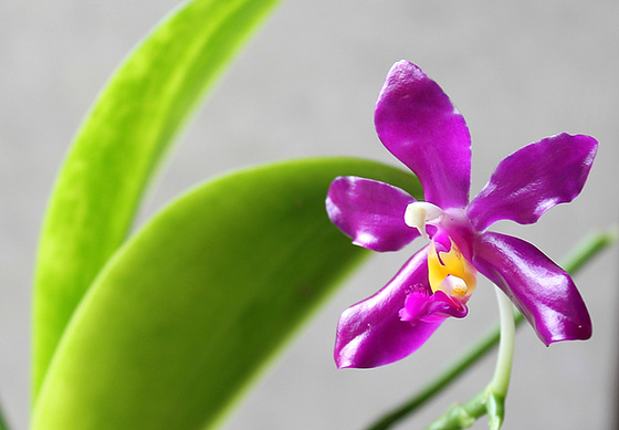 Phalaenopsis pulchra 11026087.c4018b36.560